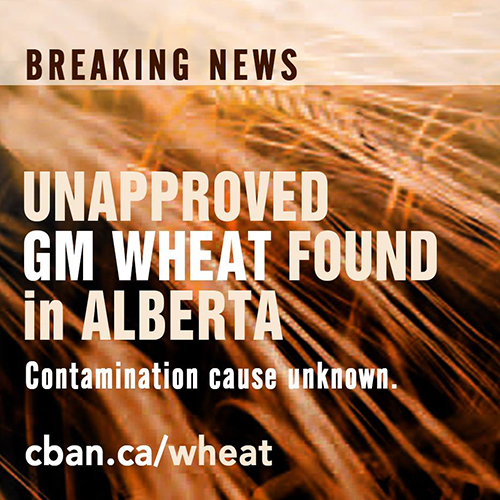 Unapproved GM Wheat Found in Alberta, CBAN | NHPPA org